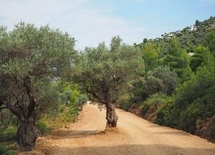 Grecia trabaja para llegar a las 100.000 tn de aceite de oliva exportadas