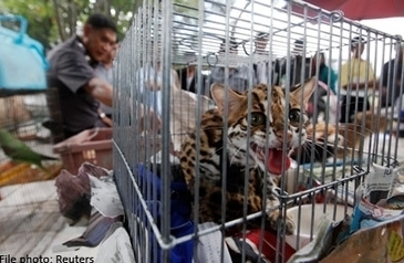 Malaysia's most sought after wildlife species by poachers | Wildlife Trafficking: Who Does it? Allows it? | Scoop.it