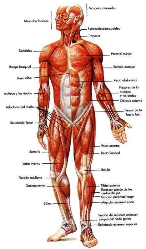 Asombroso Anatomía Y Fisiología Humana Festooning - Anatomía de Las ...