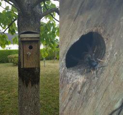 Le frelon asiatique est arrivé en Marne et en Haute-Marne | Variétés entomologiques | Scoop.it
