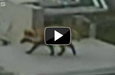 Le tanuki trotte à travers la centrale de Fukushima | Japon Information (+vidéo) | Japon : séisme, tsunami & conséquences | Scoop.it