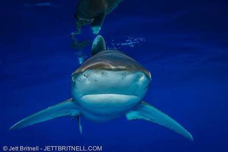 #Oceanic #WhitetipSharks In #Peril ~ #LongTermSurvial may... The Nomadic Tribes | Rescue our Ocean's & it's species from Man's Pollution! | Scoop.it
