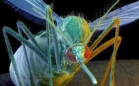 Genetically Modified Mosquitoes Release in the Millions with No Risk Assessment | MN News Hound | Scoop.it