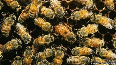Family disputes create rebel bees | 100 Acre Wood | Scoop.it