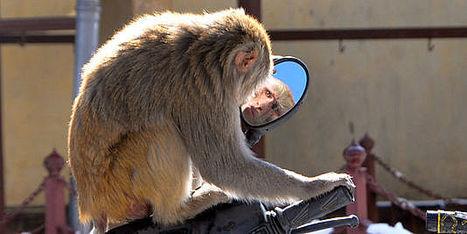 Paralysie : un singe parvient à actionner le bras d'un autre par la pensée | Merveilles - Marvels | Scoop.it