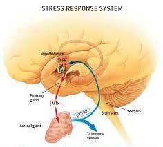 How to Prevent Stress from Shrinking Your Brain | Brain health | Scoop.it