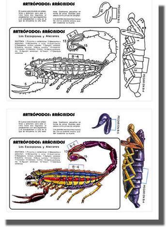 Recortables anatomía invertebrados | nat...