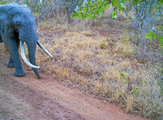 Poachers set sights on Kruger ivory | Wildlife Trafficking: Who Does it? Allows it? | Scoop.it