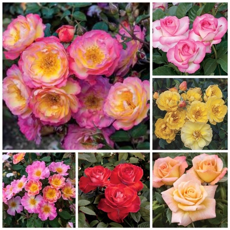 New Roses for 2016 - Weeks Roses | All Things Rose | Scoop.it