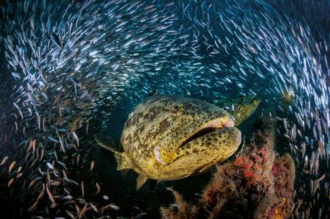 Le come-back du mérou géant dans les mangroves - National Geographic | Information sur les océans | Scoop.it