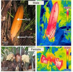 La mystérieuse chaleur du palmier à ivoire | De Natura Rerum | Scoop.it