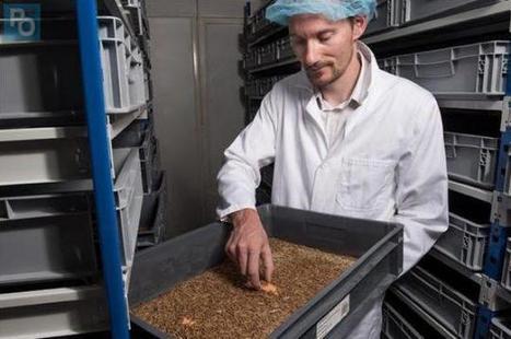 Le ver de farine nantais, protéine du futur | Variétés entomologiques | Scoop.it