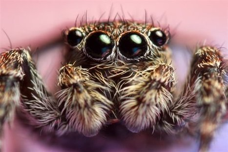Notes on nature - Jumping spiders | Gardening Life | Scoop.it