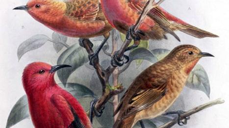 13 espèces d'oiseaux déclarées éteintes | Biodiversité & Relations Homme - Nature - Environnement : Un Scoop.it du Muséum de Toulouse | Scoop.it