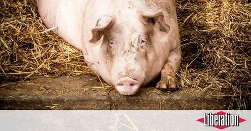 Face à la Chine, la filière bretonne fait du lard - Libération