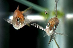 Científicos analizan cómo un pez cambia de forma para atraer hembras según alimento | Agua | Scoop.it