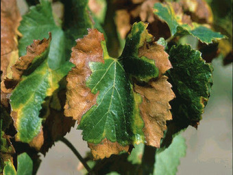 Of Bacteria and Men: Plant pathogen focus: Pierce's disease and the vineyards of California (2013) | Plant Gene Seeker -PGS | Scoop.it
