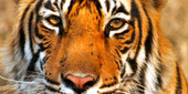 """""""Broken Tail: A Tiger's Last Journey"""" ~ Full Episode - PBS Nature 