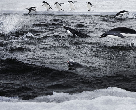 #Antarctic Oceans Alliance ~ #Krill in #decline! Help if you can thxu... | Rescue our Ocean's & it's species from Man's Pollution! | Scoop.it