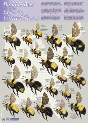 Pollinator Partnership: Bumble Bees of the Easter US | Pollinators: a plant focus, for backyards | Scoop.it