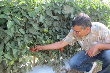 Tradition meets innovation in CALS scientist's tomato breeding efforts | CALS News Center | News from the College of Agricultu... | Research from the NC Agricultural Research Service | Scoop.it