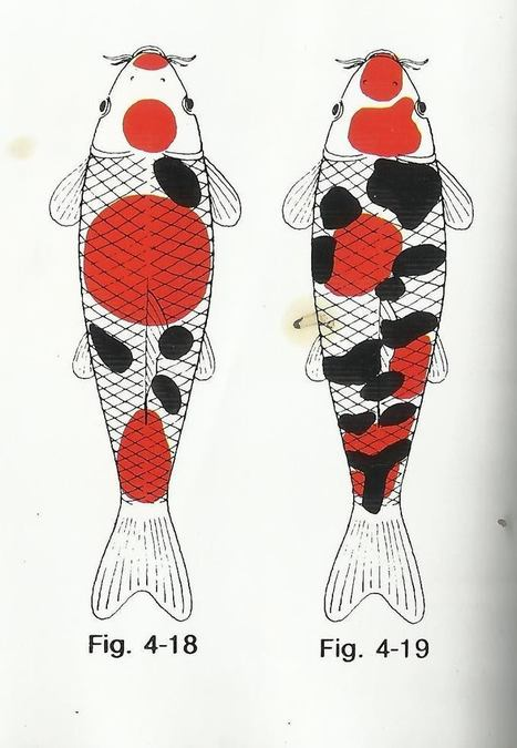 Taisho-Sanke Pattern - Koi and Goldfish breeding tips   Koi keeper   Scoop.it