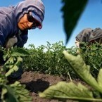 Immigrant farm workers at center of GMO food-labeling debate | Food issues | Scoop.it