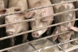 Big Pork Deal Comes Amid Friction Over Livestock Drug – Utne Altwire | Animal Sciences | Scoop.it