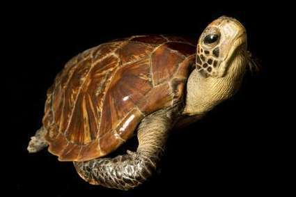 Fate of turtles and tortoises affected more by habitat than temperature | Animals R Us | Scoop.it