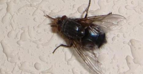 ¿Qué nos diferencia de las moscas? - ecodiario | Bichos en Clase | Scoop.it
