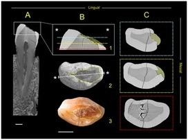PLOS ONE: Beeswax as Dental Filling on a Neolithic Human Tooth | Archaeology Articles and Books | Scoop.it