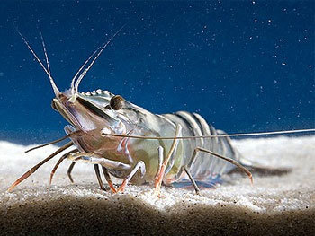 UNITED STATES: Cause Of EMS Shrimp Disease Identified   Laboratory   Scoop.it