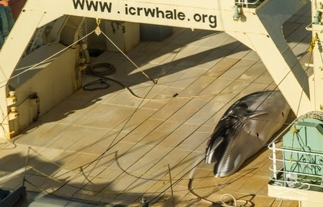 Un baleinier japonais pris sur le fait en Antarctique | Zones humides - Ramsar - Océans | Scoop.it