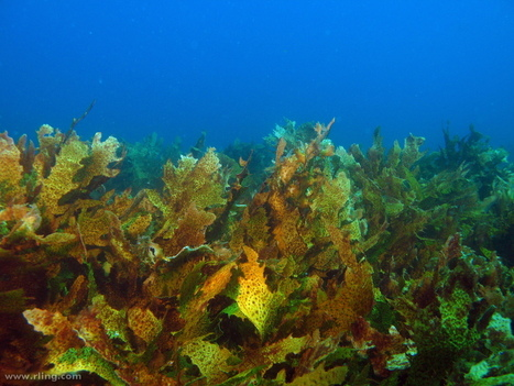Invasive Fish Threat To Kelp Forests | ecology and economic | Scoop.it