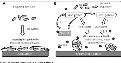 The symbiotic biofilm of sinorhizobium fredii s the symbiotic biofilm of sinorhizobium fredii smh12 necessary for successful colonization and symbiosis of glycine max cv osumi is regulated by quorum ccuart Choice Image