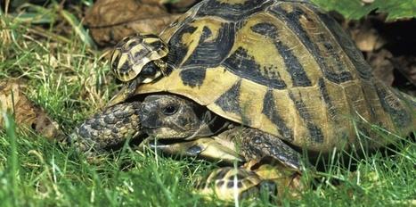 Espoir pour la conservation de la tortue d'Hermann dans le Var | Biodiversité, Herpétologie, Ichtyologie, Entomologie... | Scoop.it