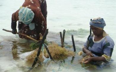 Warming seas frustrate Zanzibar's seaweed farmers - AlertNet | Climate change challenges | Scoop.it