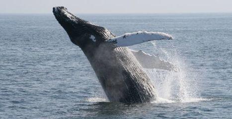 Il ne fait pas bon être une baleine au Japon | Metro | Japon : séisme, tsunami & conséquences | Scoop.it