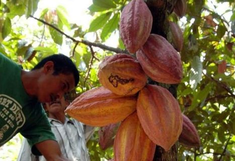 Televisora asiática elige a Honduras para realizar documental sobre Cacao | cacao | Scoop.it