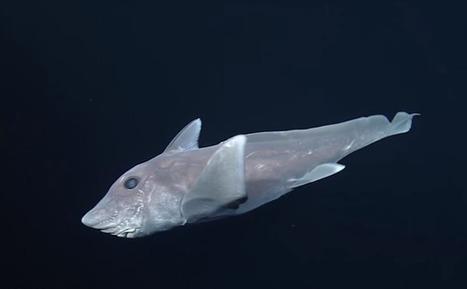 Un «requin-fantôme» filmé pour la première fois | Zones humides - Ramsar - Océans | Scoop.it
