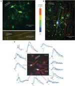 An amplified promoter system for targeted expression of calcium indicator proteins in the cerebellar cortex | Neuroscience_technics | Scoop.it