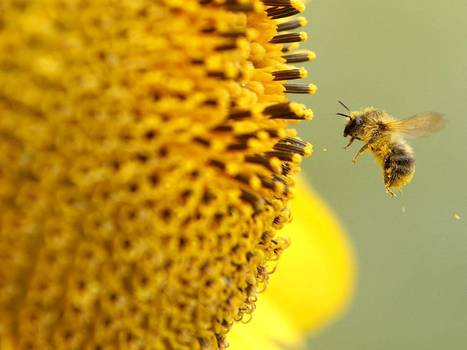 No ban on pesticides that 'threaten bees'   YOUR FOOD, YOUR ENVIRONMENT, YOUR HEALTH: #Biotech #GMOs #Pesticides #Chemicals #FactoryFarms #CAFOs #BigFood   Scoop.it