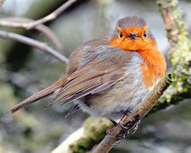 Save England's robins! - The Petition Site | The natural world | Scoop.it