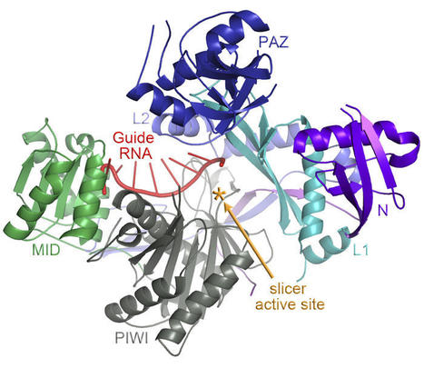 Structure of a key 'gene silencer' protein discovered - Argonaute2 | Amazing Science | Scoop.it