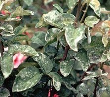 Mildew on Rose Leaves - Rose Magazine | Natural Pest Control | Scoop.it