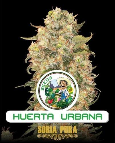 Soria Pura 3 seeds - €27.00 : Zen Cart!, The Art of E-commerce | thc barcelona | Scoop.it