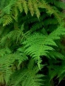 Ferns - Planting, growing, and care | Gardening Life | Scoop.it
