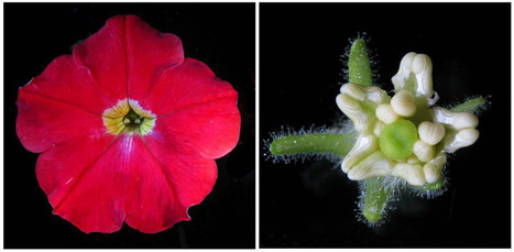 Flower Development: a Special Issue of Annals of Botany open for submissions - AoB Blog | NetBiology | Scoop.it