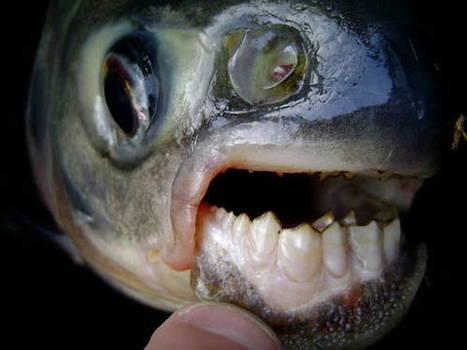 Allarme per pesce Pacu, morde i testicoli - - ANSA.it   Browsing around   Scoop.it