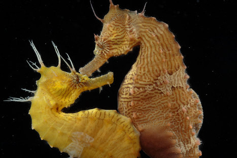 Romance of the Seas: Strange Mating Habits of the Seahorse | Seahorse Project | Scoop.it